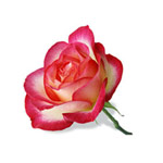 Розовая роза от Mari__